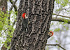 """<div class=""""jaDesc""""> <h4>Male Red-bellied Woodpeckers Circling Tree - May 14, 2016</h4> <p>These two male Red-bellied Woodpeckers were rapidly circling this large tree trunk.  They were vying for the attention of a single female nearby.</p> </div>"""