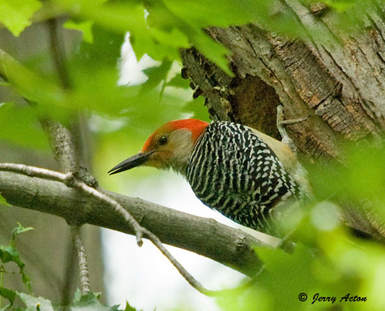 """<div class=""""jaDesc""""> <h4> Male Red-bellied Woodpecker at Nest - June 12, 2009 </h4> <p>Both the male and female were making regular food runs for over 3 hours while I was there during the afternoon..</p> </div>"""