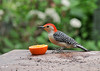 "<div class=""jaDesc""> <h4>Male Red-bellied Woodpecker Enjoying Orange - May 22, 2016</h4> <p>He then moved over to the orange half that I put out for 4 Orioles and 4 Catbirds.  He loved that and chased 2 Blue Jays who tried to harass him.</p> </div>"