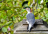 "<div class=""jaDesc""> <h4>Female Red-bellied Woodpecker - Back View - November 2, 2016</h4> <p>Here you can see the beautiful black and white patterns on her back and tail.</p> </div>"