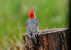 """<div class=""""jaDesc""""> <h4>Male Red-bellied Woodpecker Makes Appearance - May 22, 2016</h4> <p>I have not seen the male in quite awhile.  He must sneak in and out when I am not looking.</p> </div>"""