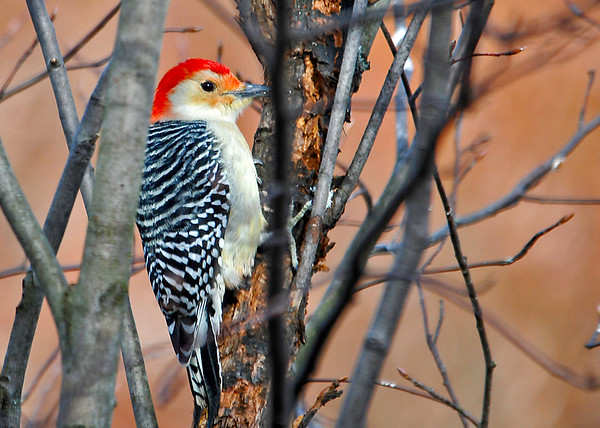 """<div class=""""jaDesc""""> <h4> Male Red-bellied Woodpecker Pecking - November 26, 2014 </h4> <p>After his meal of sunflower chips, this male Red-bellied Woodpecker started pecking on the same part of the serviceberry tree that the Downy and Hairy Woodpeckers have been mangling. </p> </div>"""