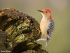 "<div class=""jaDesc""> <h4> Red-bellied Woodpecker Looking for Suet - December 15, 2009 </h4> <p>When the weather stays below freezing regularly, I start smearing peanut butter suet in this big old tree trunk to attract the Red-bellied Woodpeckers.</p> </div>"