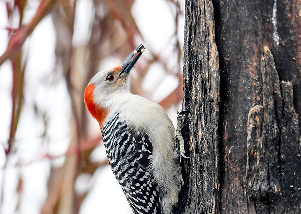 """<div class=""""jaDesc""""> <h4>Female Red-bellied Woodpecker with Seed - March 11, 2018</h4> <p>We have not seen this gal for a few years.  It was great to see her visit this afternoon.  She would grab a sunflower seed, jam it into a crack in this stump, and chip the shell off to get at the edible part inside.</p> </div>"""