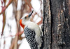 "<div class=""jaDesc""> <h4>Female Red-bellied Woodpecker with Seed - March 11, 2018</h4> <p>We have not seen this gal for a few years.  It was great to see her visit this afternoon.  She would grab a sunflower seed, jam it into a crack in this stump, and chip the shell off to get at the edible part inside.</p> </div>"