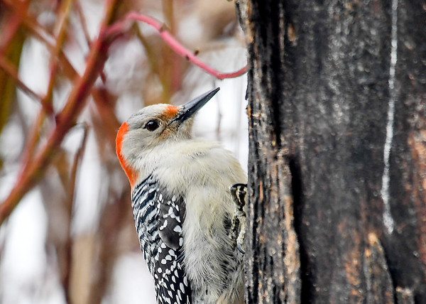 """<div class=""""jaDesc""""> <h4>Female Red-bellied Woodpecker Close-up - March 11, 2018</h4> <p>She ate about a seed a minute over a 10 minute span.</p> </div>"""