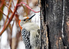 "<div class=""jaDesc""> <h4>Female Red-bellied Woodpecker Close-up - March 11, 2018</h4> <p>She ate about a seed a minute over a 10 minute span.</p> </div>"