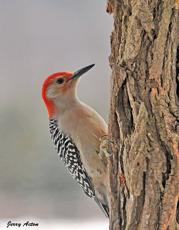 """<div class=""""jaDesc""""> <h4> Male Red-bellied Woodpecker Looking for Suet - December 25, 2009</h4> <p> Having this male Red-bellied Woodpecker visit was a nice Christmas present.</p> </div>"""