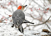"<div class=""jaDesc""> <h4>Female Red-bellied Woodpecker with Seed - January 18, 2020</h4> <p></p> </div>"