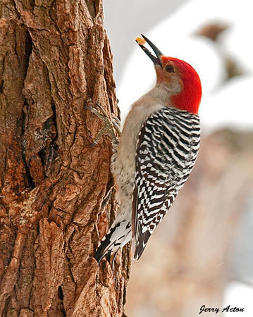 """<div class=""""jaDesc""""> <h4> Second Male Red-bellied Woodpecker - February 3, 2010 </h4> <p>As I was editing this photo, I realized this male Red-bellied Woodpecker has red on his chin unlike the other male I have been photographing.  So now we have two males visiting. This one looks like a full grown adult, while the other male may be a first year immature male.</p> </div>"""