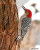 "<div class=""jaDesc""> <h4> Second Male Red-bellied Woodpecker - February 3, 2010 </h4> <p>As I was editing this photo, I realized this male Red-bellied Woodpecker has red on his chin unlike the other male I have been photographing.  So now we have two males visiting. This one looks like a full grown adult, while the other male may be a first year immature male.</p> </div>"