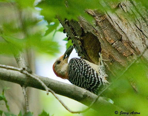 """<div class=""""jaDesc""""> <h4> Female Red-bellied Woodpecker with More Food - June 12, 2009 </h4> <p></p> </div>"""
