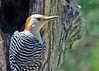 "<div class=""jaDesc""> <h4> Female Red-bellied Woodpecker at Suet Log - June 7, 2014 </h4> <p>It has been 2 years since we had a Red-bellied Woodpecker visit our yard.  I have been hearing them in the woods across the road all spring.  The female finally ventured into our yard. </p> </div>"
