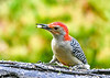 "<div class=""jaDesc""> <h4>Male Red-bellied Woodpecker Finds Peanut - August 24, 2018</h4> <p>He has no trouble finding the peanuts as he probes in between the bark layers.</p> </div>"