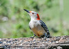 """<div class=""""jaDesc""""> <h4>Female Red-bellied Woodpecker - Bright Eyed - May 15, 2021</h4> <p></p> </div>"""