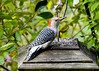"<div class=""jaDesc""> <h4>Female Red-bellied Woodpecker - Side View - November 2, 2016</h4> <p>It is always a treat when the Red-bellied Woodpeckers show up.  This female particularly likes the sunflower chips in the finch mix.</p> </div>"