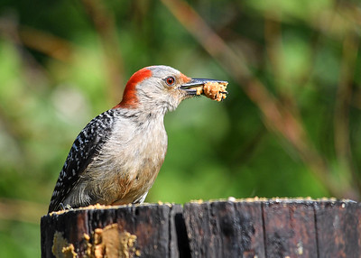 Female Red-bellied Woodpecker with Suet - June 7, 2018 The female Red-bellied Woodpecker collected a large wad of suet to take back to the nest.  I am hoping she will bring her youngsters to the feeding area.
