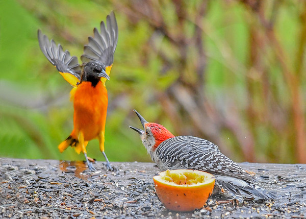 "<div class=""jaDesc""> <h4>Red-bellied Woodpecker to Oriole - Stick Em Up!!! - May 7, 2017</h4> <p>The Oriole was trying to sneak in and get to the orange, but the Red-bellied Woodpecker would not allow it.</p> </div>"