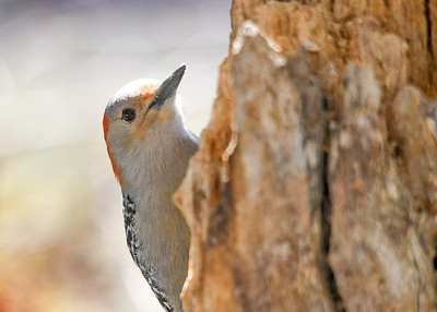 Female Red-bellied Woodpecker Close-up - March 22, 2020