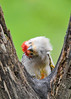 "<div class=""jaDesc""> <h4>Male Red-bellied Woodpecker Scratching Chin - May 7, 2017</h4> <p>When you have an itch, you have to scratch it.</p> </div>"