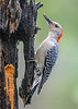 "<div class=""jaDesc""> <h4>Female Red-bellied Woodpecker Eating Suet - August 24, 2018</h4> <p>We now have the male and female Red-bellied Woodpeckers coming in together.  Normally it has been one or the other. </p> </div>"