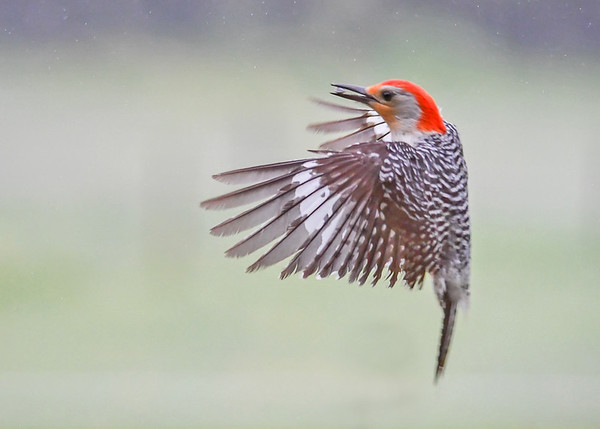 """<div class=""""jaDesc""""> <h4>Male Red-bellied Woodpecker Applying the Brakes - May 25, 2017</h4> <p>With seed in beak, the male Red-bellied Woodpecker begins slowing down as he approaches the suet log. 1/2000th of a second shutter speed.</p> </div>"""
