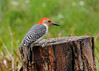 """<div class=""""jaDesc""""> <h4>Male Red-bellied Woodpecker Looking for Suet - May 22, 2016</h4> <p>He started at the suet log, but the other Woodpeckers, Blue Jays and Starlings had pecked it clean.</p> </div>"""