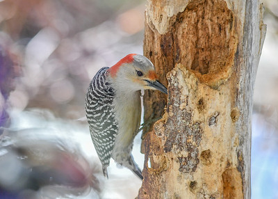 Female Red-bellied Woodpecker Eating Homemade Suet - March 22, 2020