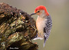 "<div class=""jaDesc""> <h4> Red-bellied Woodpecker Digging for Suet - December 15, 2009 </h4> <p></p> </div>"