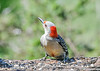 """<div class=""""jaDesc""""> <h4>Female Red-bellied Woodpecker at Feeder Log - May 15, 2021</h4> <p>She stops eating every 10-15 seconds to make sure the local hawk is not around.  Our Blue Jays sound the alarm if there is one approaching.</p> </div>"""