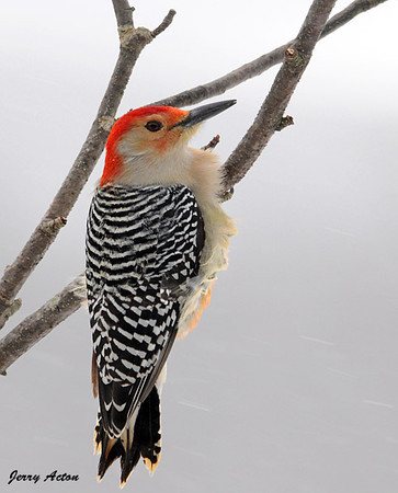 "<div class=""jaDesc""> <h4> Wind-blown Male Red-bellied Woodpecker - December 29, 2009 </h4> <p>You can see some of the red belly feathers on this wind-blown Red-bellied Woodpecker. He did not seem to mind the cold windy weather.</p> </div>"