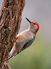 "<div class=""jaDesc""> <h4> Male Red-bellied Woodpecker on Suet Log - March 28, 2010 </h4> <p>The male Red-bellied Woodpecker really likes my home-made suet mix.  This is the longest period one has been visiting since we moved here 10 years ago.  Normally he would disappear in February looking for a mate and staking out territory.</p> </div>"