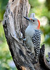 "<div class=""jaDesc""> <h4>Immature Female Red-bellied Woodpecker - October 22, 2018</h4> <p>This immature Female Red-bellied Woodpecker is this year's offspring.  We were very fortunate to have both the adult male and female visiting regularly all year long for the first time.</p> </div>"