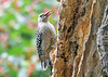 "<div class=""jaDesc""> <h4>Immature Red-bellied Woodpecker Sticking Tongue Out - September 15, 2019</h4> <p></p> </div>"