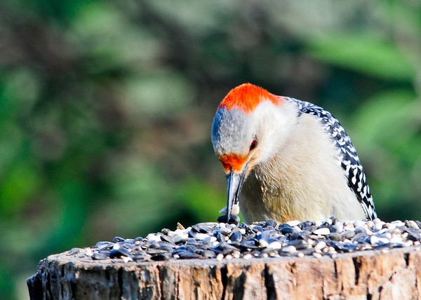 """<div class=""""jaDesc""""> <h4> Female Red-bellied Woodpecker - Two Seeds at Once - June 6, 2014 </h4> <p>Our female Red-bellied Woodpecker grabbed one shelled and one un-shelled black oil sunflower seed.  It is amazing how adept they are with their beaks.</p> </div>"""