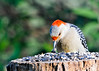"<div class=""jaDesc""> <h4> Female Red-bellied Woodpecker - Two Seeds at Once - June 6, 2014 </h4> <p>Our female Red-bellied Woodpecker grabbed one shelled and one un-shelled black oil sunflower seed.  It is amazing how adept they are with their beaks.</p> </div>"