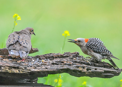 """Juvenile Red-bellied Woodpecker vs Dove - July 17, 2018 When a Dove landed on """"her"""" log, she was not pleased and encouraged the Dove to leave."""