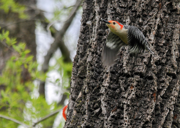 """<div class=""""jaDesc""""> <h4>Red-bellied Woodpecker Departs - May 14, 2016</h4> <p>At first I thought this male had lost the circling contest and left the tree.  But he flew over to where the female was, so I guess he actually won.</p> </div>"""