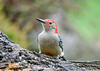 "<div class=""jaDesc""> <h4>Male Red-bellied Woodpecker - Front View - October 22, 2018</h4> <p></p> </div>"