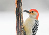 """<div class=""""jaDesc""""> <h4>Male Red-bellied Woodpecker Licking Suet - March 7, 2021</h4> <p>He tastes the peanut butter suit with his tongue before grabbing chucks with his beak.</p> </div>"""