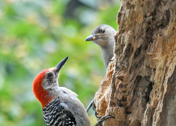 """<div class=""""jaDesc""""> <h4>Young Red-bellied Woodpecker Happily Fed - September 10, 2019</h4> <p></p> </div>"""