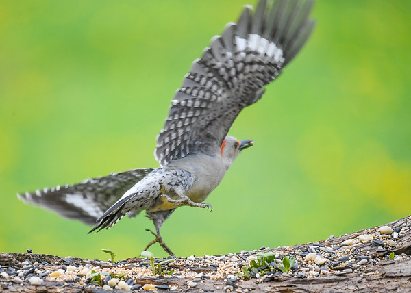 """<div class=""""jaDesc""""> <h4>Female Red-bellied Woodpecker Take-off - May 12, 2018</h4> <p>Caught her in take-off with her peanut.</p> </div>"""