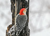 """<div class=""""jaDesc""""> <h4>Male Red-bellied Woodpecker on Tree Trunk - March 7, 2021</h4> <p>I hung up a length of a rotting pine tree trunk and smear peanut butter suet on it every morning.  All the woodpeckers and many other species love it.</p> </div>"""