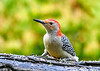 "<div class=""jaDesc""> <h4>Male Red-bellied Woodpecker Looking for a Peanut - August 24, 2018</h4> <p>I toss shelled peanuts onto this chunk of a shag bark hickory limb that fall down into the cracks.</p> </div>"
