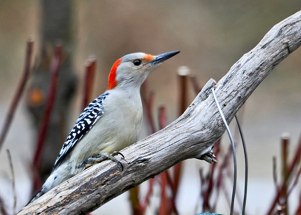 """<div class=""""jaDesc""""> <h4> Surprise Visit - Female Red-bellied Woodpecker - December 9, 2014 </h4> <p>In the 16 years we have lived here, we have never had both the male and female Red-bellied Woodpecker visit in the same year.  Today, the female stopped in right after the male left.</p> </div>"""
