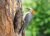 "<div class=""jaDesc""> <h4>Female Red-bellied Woodpecker Wins the Joust - June 6, 2016</h4> <p>It is unusual for a Blue Jay to defer to any other species in our back yard, but this female Red-bellied Woodpecker prevailed.  She is getting ready to depart with a big glob of peanut butter suet.</p> </div>"