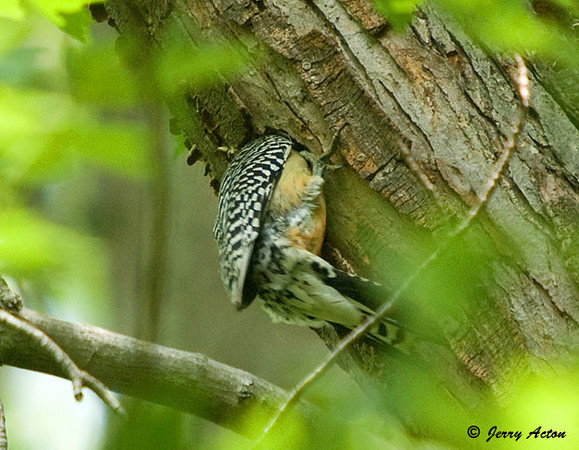 "<div class=""jaDesc""> <h4> Female Red-bellied Woodpecker Feeding Chicks- June 12, 2009 </h4> <p></p> </div>"