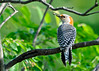 "<div class=""jaDesc""> <h4> Female Red-bellied Woodpecker - Back View - June 6, 2014 </h4> <p>The feather patterns on her back and tail are quite intricate.</p> </div>"