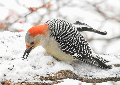 Female Red-bellied Woodpecker Pecking in Snow for Seed - January 18, 2020