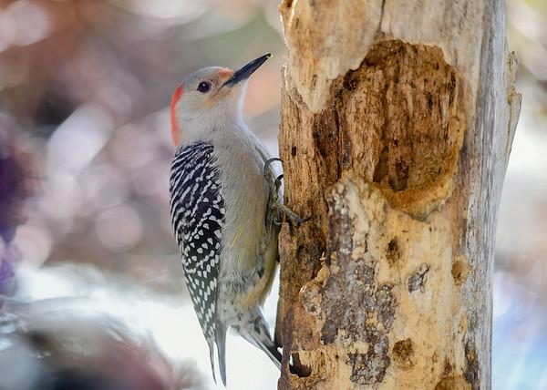 "<div class=""jaDesc""> <h4>Female Red-bellied Woodpecker on Suet Log - March 22, 2020</h4> <p></p> </div>"